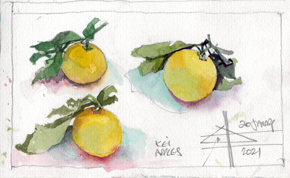 Render in watercolour - make it intriguing - watercolour of Kei Apples