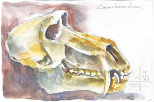 watercolour of a baboon